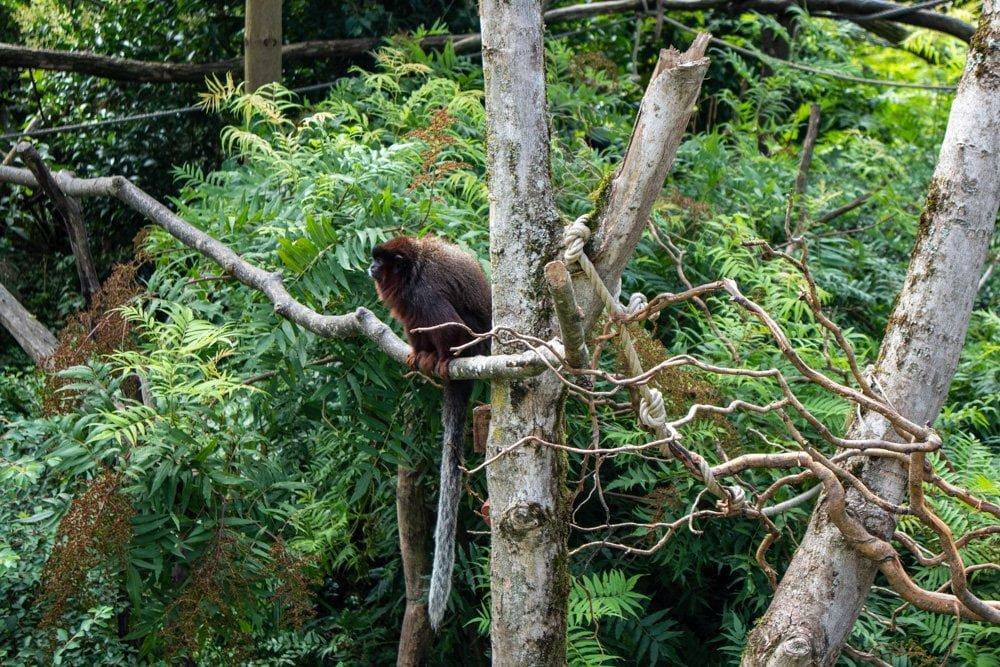 Scimmia fotografata allo Zoo di Mulhouse in Alsazia