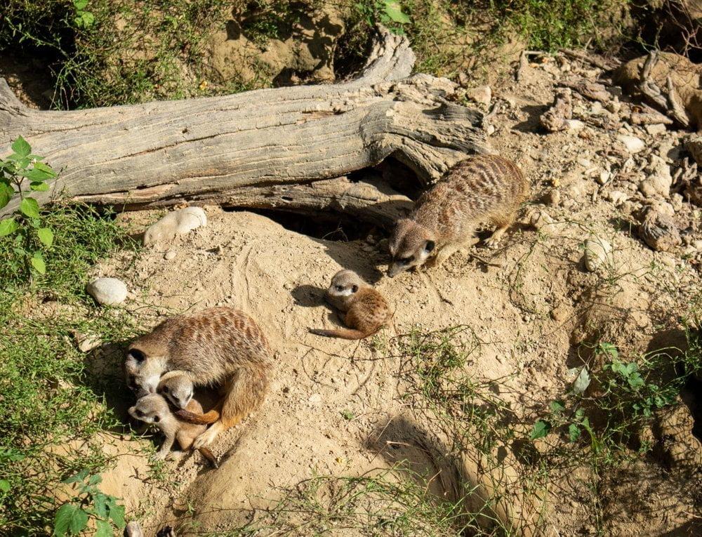 Famiglia di suricati allo Zoo di Mulhouse in Alsazia, Francia