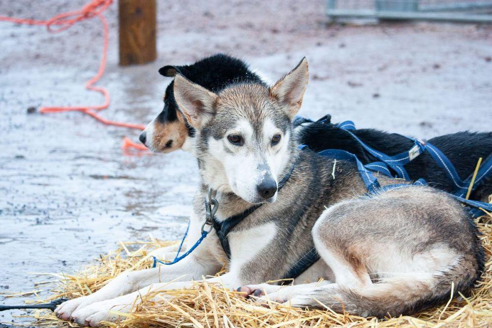 Cani da slitta, foto Flavia Iaorli di In giro con Fluppa