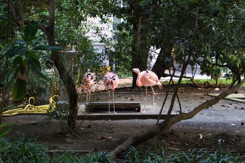 Fenicotteri rosa scuro di Villa Invernizzi a Milano