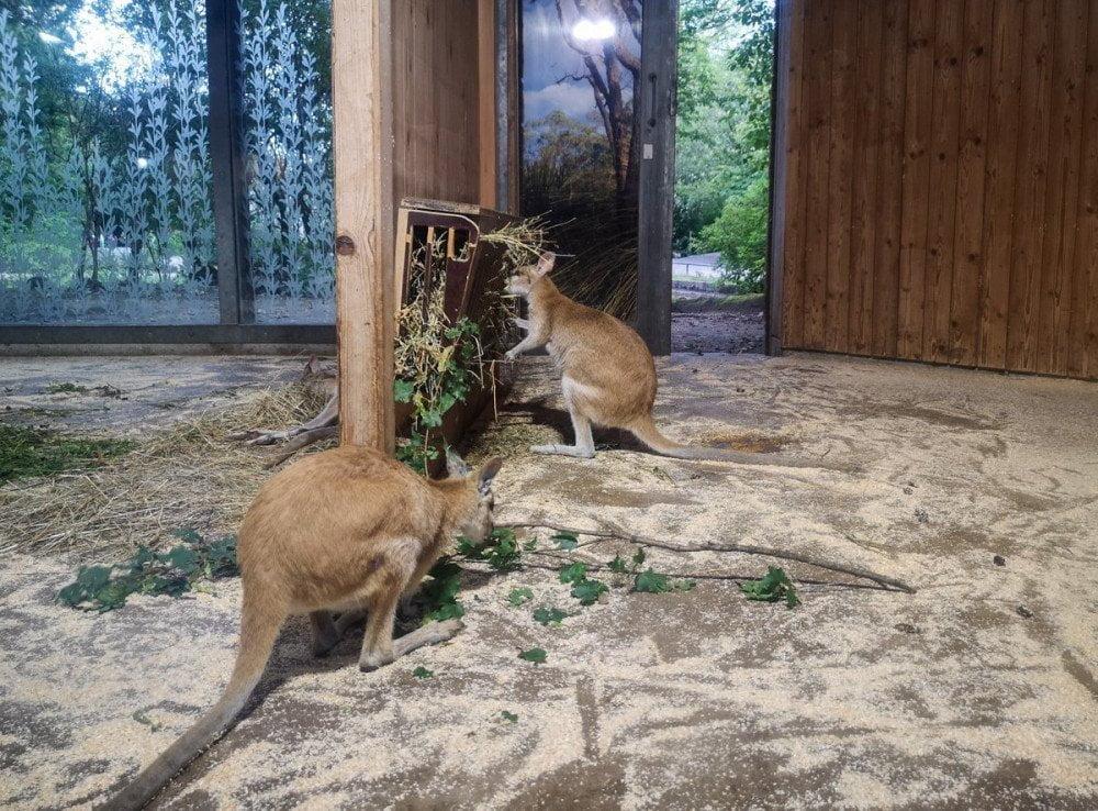 Marsupiali all'Hellabrunn Tierpark di Monaco di Baviera