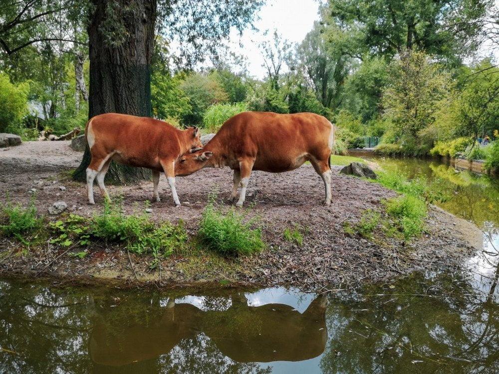 Mucche nella fattoria didattica dello zoo di Monaco Hellabrunn Tierpark