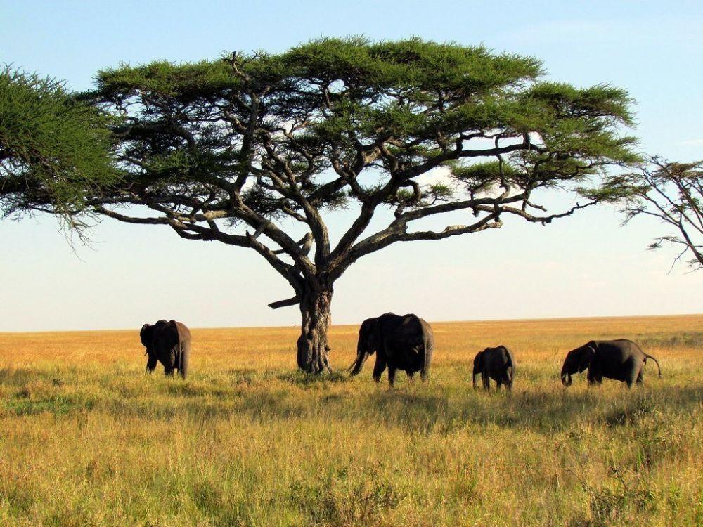 Elefanti nel Serengeti National Park in Tanzania, foto di David Berkowitz